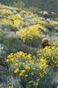 Barrel cactus, brittlebush and wildflowers color the sides of Glorietta Canyon.  Heavy winter rains led to a historic springtime bloom in 2005, carpeting the entire desert in vegetation and color for months. Anza-Borrego Desert State Park, Borrego Springs, California, USA. Image #10961