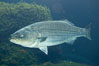Striped bass (striper, striped seabass). Image #10978