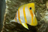 Copperband butterflyfish. Image #10996