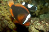 Red Saddleback Anemonefish, juvenile with white bar. Image #11036