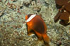 Red Saddleback Anemonefish, juvenile with white bar. Image #11039