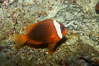 Red Saddleback Anemonefish, juvenile with white bar. Image #11040