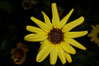 Bush sunflower, Batiquitos Lagoon, Carlsbad. California, USA. Image #11329
