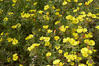 California sun cup blooms in spring, Batiquitos Lagoon, Carlsbad. USA. Image #11351
