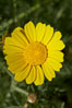 Crown daisy blooms in Spring. San Diego, California, USA. Image #11368