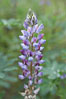 Lupine (species unidentified) blooms in spring. Rancho Santa Fe, California, USA. Image #11395