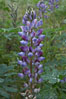 Lupine (species unidentified) blooms in spring. Rancho Santa Fe, California, USA. Image #11408
