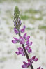 Lupine (species unidentified) blooms in spring. Rancho Santa Fe, California, USA. Image #11414