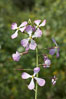 Wild radish blooms in spring, Batiquitos Lagoon, Carlsbad. California, USA. Image #11473