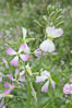 Wild radish blooms in spring, Batiquitos Lagoon, Carlsbad. California, USA. Image #11476