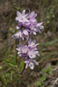 Wild hyacinth blooms in spring, Batiquitos Lagoon, Carlsbad. California, USA. Image #11531