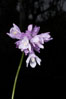 Wild hyacinth blooms in spring, Batiquitos Lagoon, Carlsbad. Batiquitos Lagoon, Carlsbad, California, USA. Image #11534
