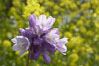 Wild hyacinth blooms in spring, Batiquitos Lagoon, Carlsbad. Batiquitos Lagoon, Carlsbad, California, USA. Image #11539
