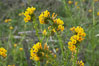 Ranchers fiddleneck, also known as common fiddleneck, blooms in spring. San Elijo Lagoon, Encinitas, California, USA. Image #11649