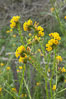 Ranchers fiddleneck, also known as common fiddleneck, blooms in spring. San Elijo Lagoon, Encinitas, California, USA. Image #11650