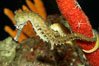 Barbours seahorse. Image #11766