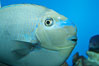 Big-nosed unicornfish. Image #11770