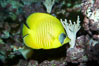 Masked butterflyfish. Image #11803