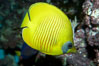 Masked butterflyfish. Image #11804