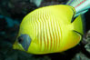 Masked butterflyfish. Image #11805