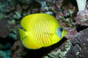 Masked butterflyfish. Image #11807