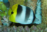 Pacific double-saddle butterflyfish. Image #11817