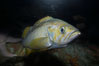 Yellowtail rockfish. Image #11880