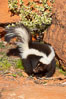Striped skunk.  The striped skunk prefers somewhat open areas with a mixture of habitats such as woods, grasslands, and agricultural clearings. They are usually never found further than two miles from a water source. They are also often found in suburban areas because of the abundance of buildings that provide them with cover. Image #12053