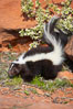 Striped skunk.  The striped skunk prefers somewhat open areas with a mixture of habitats such as woods, grasslands, and agricultural clearings. They are usually never found further than two miles from a water source. They are also often found in suburban areas because of the abundance of buildings that provide them with cover. Image #12060