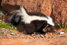 Striped skunk.  The striped skunk prefers somewhat open areas with a mixture of habitats such as woods, grasslands, and agricultural clearings. They are usually never found further than two miles from a water source. They are also often found in suburban areas because of the abundance of buildings that provide them with cover. Image #12061