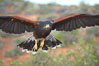 Harris hawk in flight. Image #12155