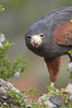 Harris hawk devours a dove. Image #12159