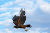 Harris hawk in flight. Image #12160