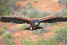 Harris hawk in flight. Image #12161