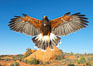 Harris hawk in flight. Image #12162