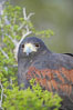 Harris hawk. Image #12163