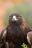 Golden eagle. Image #12205