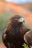 Golden eagle. Image #12208