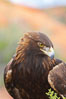 Golden eagle. Image #12217