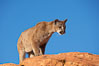 Mountain lion. Image #12287