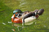 Wood duck. Image #12530