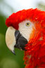 Scarlet macaw. Image #12541