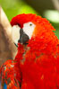 Scarlet macaw. Image #12542