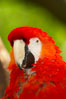 Scarlet macaw. Image #12543