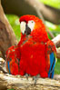 Scarlet macaw. Image #12544
