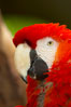 Scarlet macaw. Image #12545