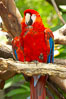 Scarlet macaw. Image #12546