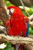 Scarlet macaw. Image #12547