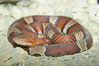 Trans-Pecos copperhead snake.  The Trans-Pecos copperhead is a pit viper found in the Chihuahuan desert of west Texas.  It is found near streams and rivers, wooded areas, logs and woodpiles. Image #12582