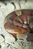 Trans-Pecos copperhead snake.  The Trans-Pecos copperhead is a pit viper found in the Chihuahuan desert of west Texas.  It is found near streams and rivers, wooded areas, logs and woodpiles. Image #12583